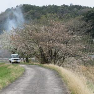 桜 さくら 山桜 2020・03・31