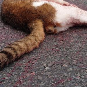 葛飾区の事故猫の飼い主・餌やりさんに届きますよう・・・