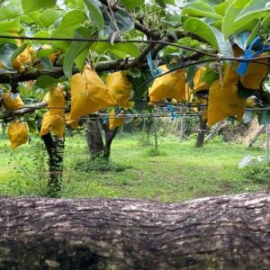 2021年も一勝地梨収穫が始まりました。