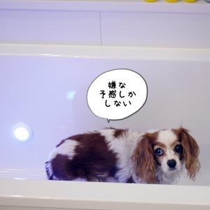 【節約】犬のサロン代をケチって、おうち洗い