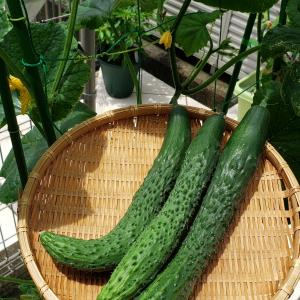 プランター菜園初キュウリ収穫