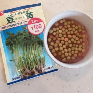 水耕栽培で豆苗の巻