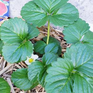 家庭菜園初心者イチゴの花