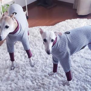 ウィペット新しいわんこ服