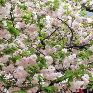 2年前の桜