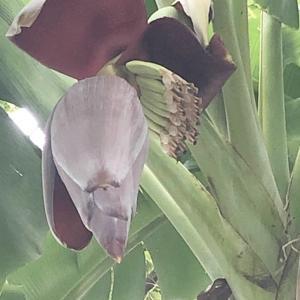【タイのお花】コロナ禍のバンコク散歩 バナナのお花☆彡 タイはお花の宝箱