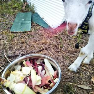 【ザワワ村】開拓物語 第36話「バナナハート収穫&ヤギと牛舎訪問」