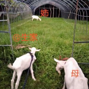 【ザワワ村】開拓物語 第37話「初めてヤギの生家に帰省して母と姉に再会」