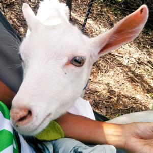 【ザワワ村】開拓物語 第38話「今年の夏期休暇はヤギとのんびり村作り」