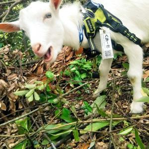 【ザワワ村】開拓物語 第39話「ヤギの好きなドングリが豊作・・・栗の栽培開始」