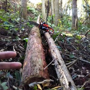 【ザワワ村】開拓物語 第46話「裏山の杉を試し切り&ツワブキの花が見頃」