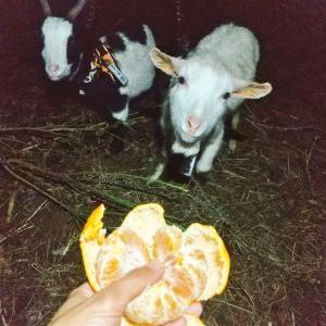 【ザワワ村】開拓物語 第52話「ヤギと仲良く🍊をワケワケ&暖冬継続でバナナ順調」