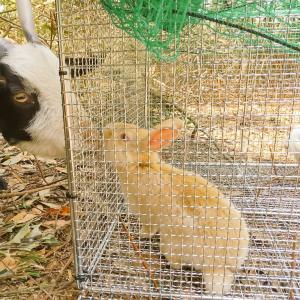【ザワワ村】開拓物語 第57話「ヤギの仲間としてウサギが村に新規加入」