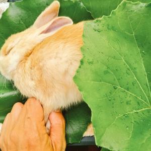 【ザワワ村】開拓物語 第58話「悲しい別れ…生後2ヶ月のウサギの急死」