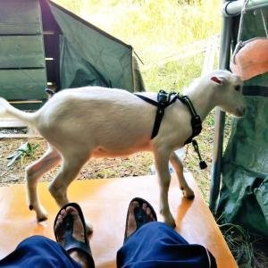 【ザワワ村】開拓物語 第33話「ヤギが村にやってきた」