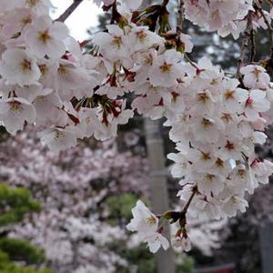 ★☆花曇りの中・烏子神社のさくら・桜☆★