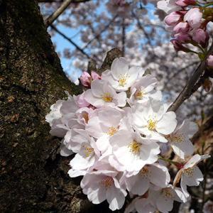 ★☆☆ 桜 さくら サクラ ☆☆★