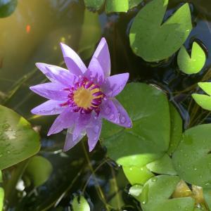 Water LilyとFuchsia
