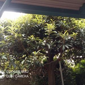 有難い枇杷の葉、大薬王樹。