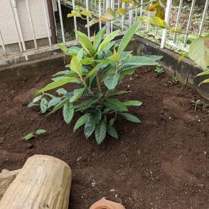 私の枇杷の木!定植完了。