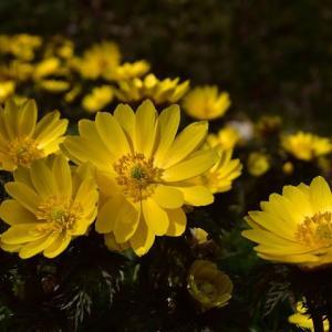 花見山 春の便り