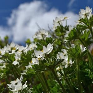 咲き匂う南蔵王Ⅱ