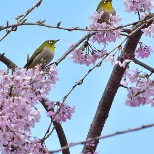 紅しだれ桜とメジロ