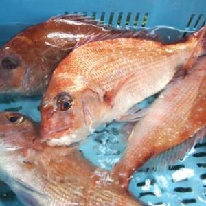 明石鯛って高級魚?