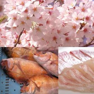 桜満開で桜鯛も満開!