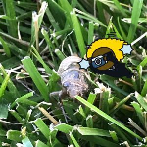 蝉の幼虫★スタバ風ストロベリードリンクを作ってみた。