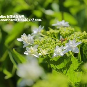 変わり種の紫陽花@初夏のアンデルセン公園(過去写真)