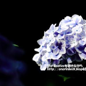 紫陽花を撮りに♪(1)@日本寺