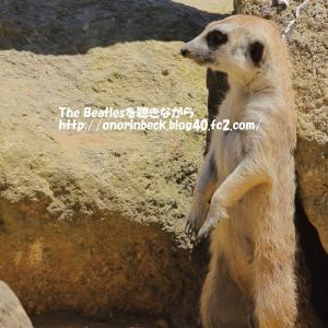 可愛いミーアキャット@猛暑の千葉市動物公園