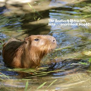 もぐもぐタイムのカピバラ@猛暑の千葉市動物公園