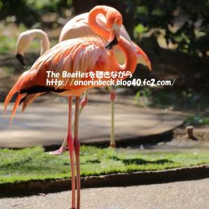 フラミンゴ@猛暑の千葉市動物公園
