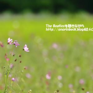 真夏の秋桜@佐倉ふるさと広場