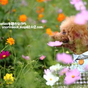 晴れた日の秋桜(後編)@佐倉ふるさと広場