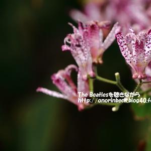 ホトトギス@佐倉くらしの植物苑