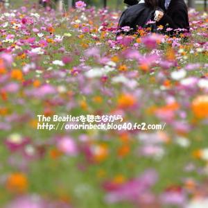 最後の秋桜(最終回)@あけぼの山農業公園