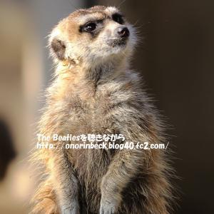 見張り番ミーアキャット@市川市動植物園