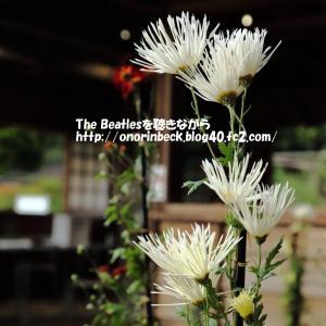 伝統の古典菊(1)@佐倉くらしの植物苑