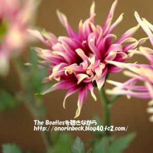 伝統の古典菊(2)@佐倉くらしの植物苑