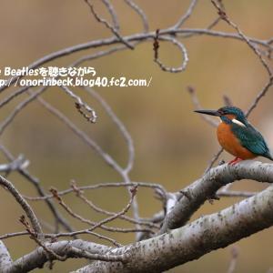 じゅんさい池緑地公園のカワセミ♪