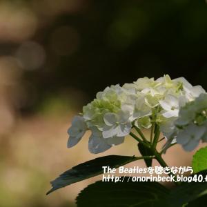咲き始めの紫陽花@宗吾霊堂
