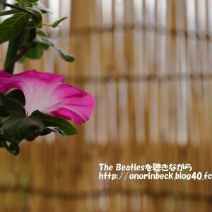 伝統の朝顔@くらしの植物苑