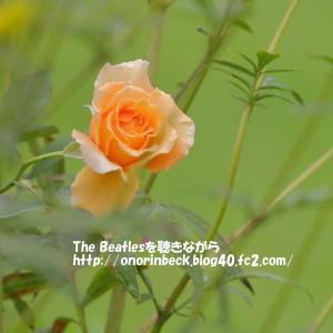 薔薇とダリア@稲毛花の美術館