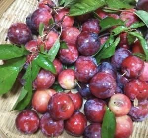 Asian plums  arrived this year too. 今年もスモモを頂きました!