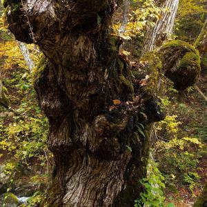 逞しき蕪の木 宇津江48滝
