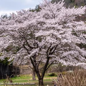 薬木の広場の桜 百々ヶ峰