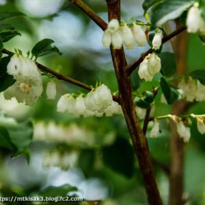 木の花 八曽